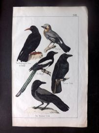 Adam White C1860 Hand Col Bird Print. Crow, Chough, Magpie, Jay